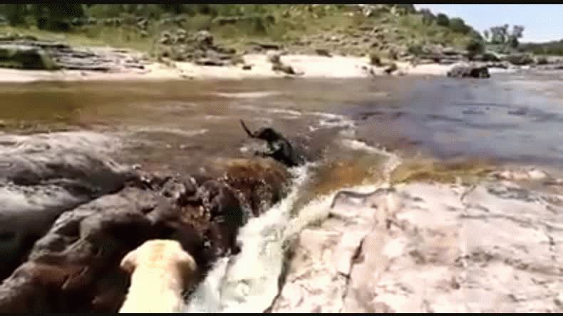 La corriente arrastró a un labrador y otro logró rescatarlo