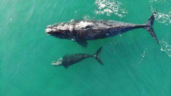 Un equipo internacional de investigadores desarrolló un método para calcular el peso de las ballenas francas a partir de fotografías tomadas con drones en Península Valdés.